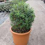 Ligustrum delavayanum (privet) 22 Litre Pot