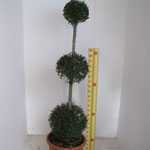 Ligustrum delavayanum (privet) 3 Ball Topiary Height 130cm 25Litre Pot