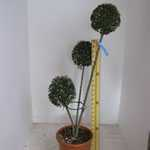 Ligustrum delavayanum (privet) 3 Ball Topiary Height 120-140cm 35Litre Pot