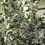 Spiraea Arguta (Bridal Wreath) 10 Litre Pot