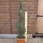 Ligustrum delavayanum (privet) Spiral Topiary Height 120-130cm 25Litre Pot