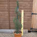 Ligustrum delavayanum (privet) Spiral Topiary Height 120-130cm 25Litre Pot