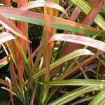 Phormium Jester (New Zealand Flax)