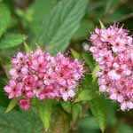 Spiraea Japonica Magic Carpet 3.6ltr