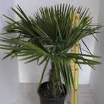Trachycarpus fortunei (Chusan Palm Tree) 30ltr