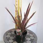 Phormium Hybrid Maori Queen (New Zealand Flax)