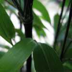 Bambusa Phyllostachys Nigra (Black Bamboo) 6ft 18 litre Pot