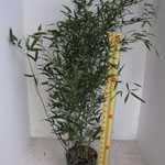 Bambusa Phyllostachys Bissetii (Green Variety)120-150cm 12ltr