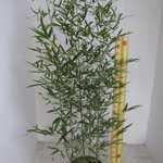 Bambusa Phyllostachys Vivax Aureocaulis (Fishpole Bamboo) 125-150cm 12 Litre Pot