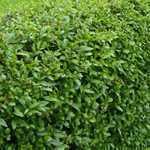 Ligustrum ovalifolium Common Green Privet 60-70cm Hedging Plant 3Ltr Pot - Pack of 10