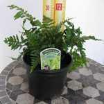 Dryopteris Erythrosora Japanese Rosy Buckler Fern