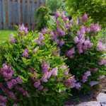 Syringa Meyeri Palibin (Korean Lilac) 3.5Ltr