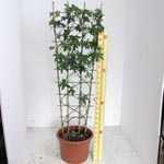 Passiflora Caerulea Trellis Climber 20 litre Pot (Passion Flower)