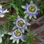 Passiflora Passion Flower Caerulea Trellis Climber 20 litre Pot