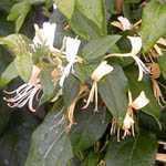 Lonicera (Honeysuckle) Delavayii 3 Cane 3Ltr