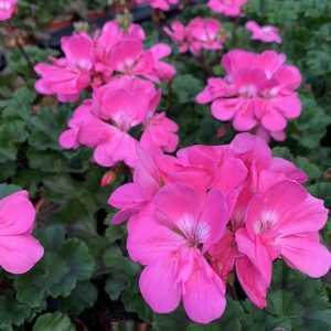 Geranium Potted Bright Pink (Summer Bedding) 10.5cm Pot