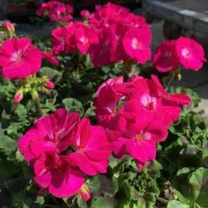 Geranium Potted Cerise Pink (Summer Bedding) 10.5cm Pot