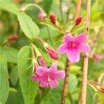 Jasmine Beesianum Red Jasmine