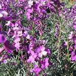 Erysimum Bowles Mauve (Wallflower)