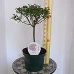 Rose Patio/1/4 Standard 'Snowcap'