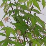 Acer Palmatum Orido-nishiki (Japanese Maple) 3 Litre Pot