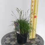 Carex 'The Beatles' (Sedge) 2 Litre Pot