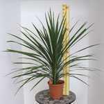 Cordyline Australis Verde (Cabbage Tree) 5 Litre Pot