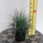 Festuca Glauca Elijah Blue Ornamental Grass