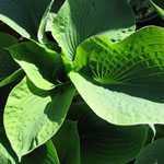 Hosta Sieboldiana Elegans (Plantain Lily)