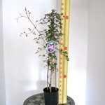 Clematis 'Venosa Violacea' 3 Litre Pot