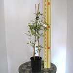 Clematis 'Natasha' 3 Litre Pot