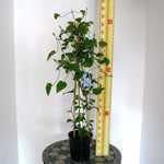 Clematis 'Ramona' 3 Litre Pot
