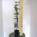 Clematis 'Durandii' (Climber) 3 Litre Pot
