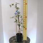 Clematis 'Blekitny Aniol' (Climber) 3 Litre Pot