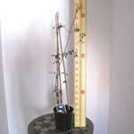 Clematis 'Kai' (Climber) 3 Litre Pot