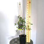 Clematis 'Honora' (Climber) 3 Litre Pot