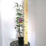 Clematis Aljonshka (Climber) 3 Litre Pot