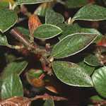 Cotoneaster Franchetii (Hedging Plant) 10Ltr