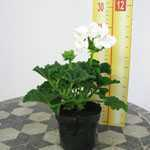 Geranium Potted White 10.5cm Pot (Summer Bedding) Box of 15 Plants