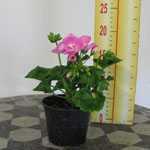 Geranium Potted Bright Pink 10.5cm Pot (Summer Bedding) Box of 15 Plants