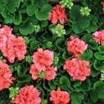 Geranium Potted Orange-Red (Summer Bedding) 10.5cm Pot 15 Per Box