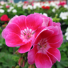 Geranium Potted Mixed Colours 10.5cm Pot (Summer Bedding) Box of 15 Plants