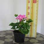 Geranium Potted  (Summer Bedding) Bright Pink 10.5cm Pot