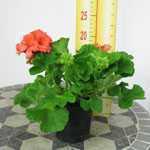 Geranium Potted Orange/Salmon  (Summer Bedding) 10.5cm pot