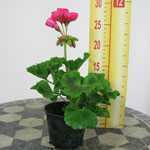 Geranium Potted Cerise Pink (Summer Bedding) 10.5cm