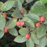 Cotoneaster Franchetii (Hedging Plant)