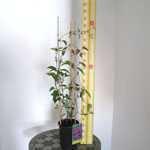 Clematis 'Richard Pennell' (Climber) 3 Litre Pot