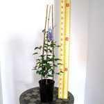 Clematis 'Alice Fisk' (Climber) 3 Litre Pot