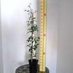 Clematis Rising Star (Climber) 3 Litre Pot