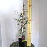 Clematis Stasik (Climber) 3 Litre Pot